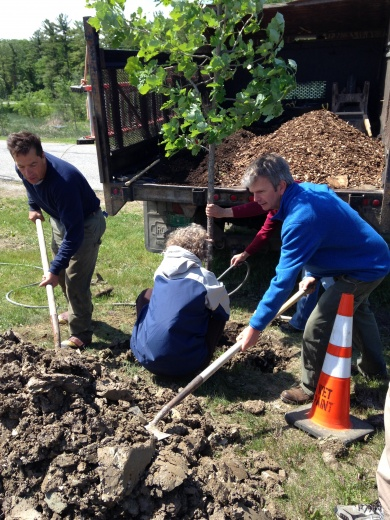 Chris Zeoli (left) plants a tree for Middlebury's 2017 Arbor Day celebration.
